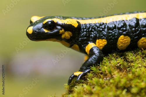 Canvas Print Feuersalamander - Salamandra salamandra