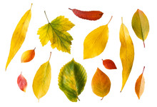 Set Of Bright Autumn Leaves Isolated On White Background