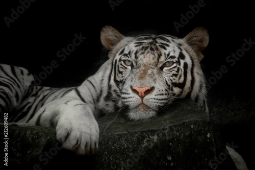 close up of a white tiger