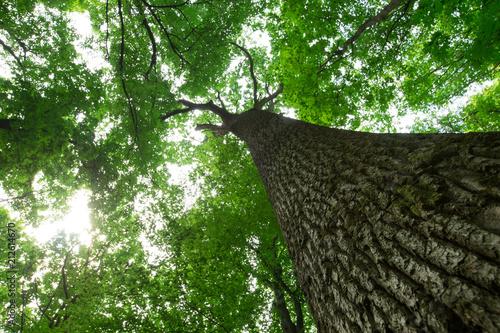 Fototapeten Wald forest trees. nature green wood sunlight backgrounds