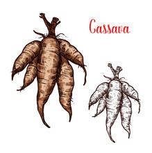 Cassava Vector Sketch Of Tropical Plant Tuber