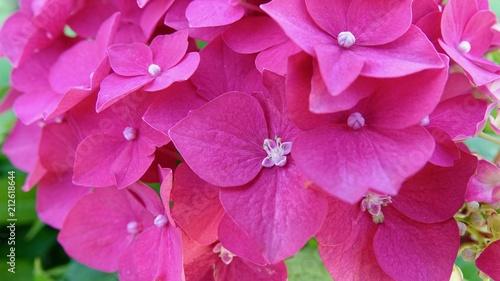 Spoed Foto op Canvas Hydrangea Hortensie, von der Knospe zur geöffneten Blüte