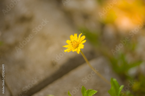 Foto op Canvas Madeliefjes Blurred image of Wedelia trilobata ,Sphagneticola trilobata (Creeping daisy, Trailing daisy, Creeping ox-eye, Climbing wedelia, Rabbits paw or Singapore daisy). Blossom bright yellow flower
