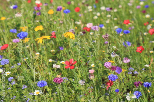 Fototapeta Detail of colorful wildflower meadow in summertime obraz