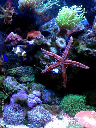 Fromia Seastar w akwarium z rafą koralową jest jedną z najbardziej niesamowitych żywych dekoracji