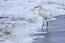 Snowy Egret Walking In The Surf On A California Beach