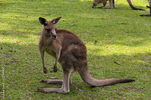 In de dag Kangoeroe Kangoroo Wildlife Australia Wallaby