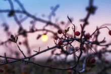 The Hawthorn Berries Of Late Autumn. Copyspace