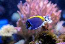 Powder Blue Tang In Reef Tank
