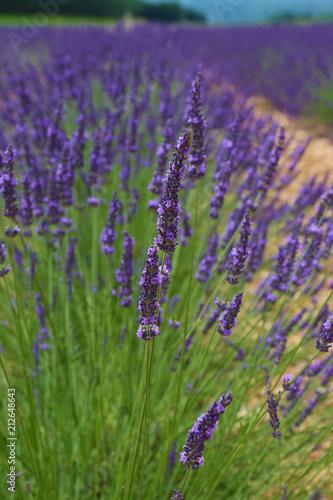 Poster Lavendel LAVANDES