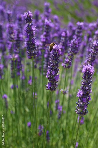 Foto op Aluminium Lavendel LAVANDES