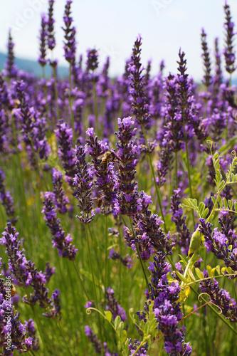 Spoed Foto op Canvas Lavendel LAVANDES