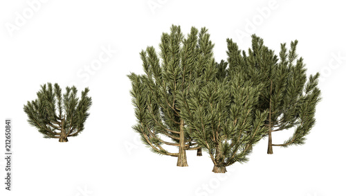 Fotografie, Obraz  3D Rendering Green Mulga Trees on White