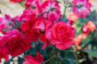 Red Scarlet Christian Dior Rose Varietal