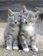 Two Gray Sleepy Kittens