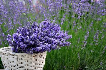 Fototapeta Lawenda Purple lavender flowers in a white basket on the background of the lavender garden