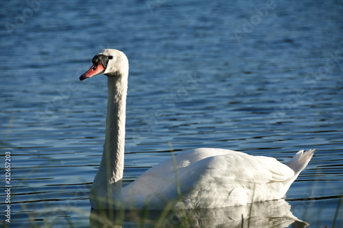 Foto op Aluminium Zwaan White swan bird swims along the lake blue water in the forest in the evening