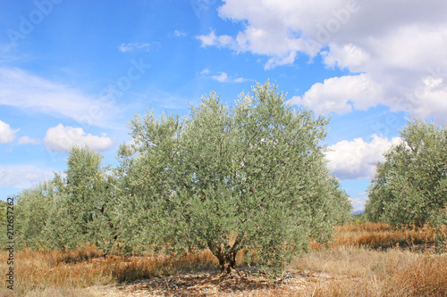 Olive grove in France