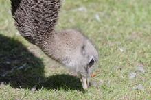 An Ostrich Eating Grass