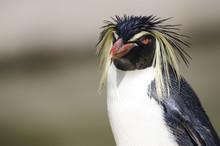Close Up Of A Rockhopper Penguin