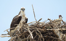 Young Mother Osprey And It's S...