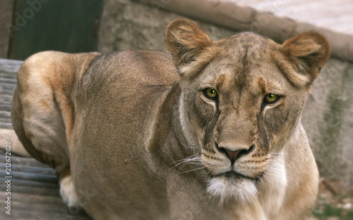 Photo Lioness (Panthera leo), close up