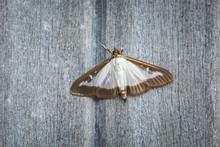 Box Tree Moth, Cydalima Perspe...