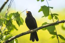 Blackbird (turdus Merula) Sing...