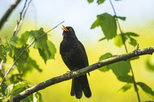 Blackbird (turdus merula) singing in a tree Canvas Print
