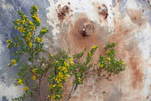 Blooming Creosote Bush In Front Of Rusty Metal