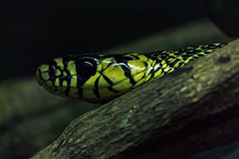Spilotes Pullatus, Commonly Known As The Caninana, Chicken Snake, Yellow Rat Snake, Or Serpiente Tigre, Is A Species Of Large Nonvenomous Colubrid Snake Endemic To Mesoamerica.