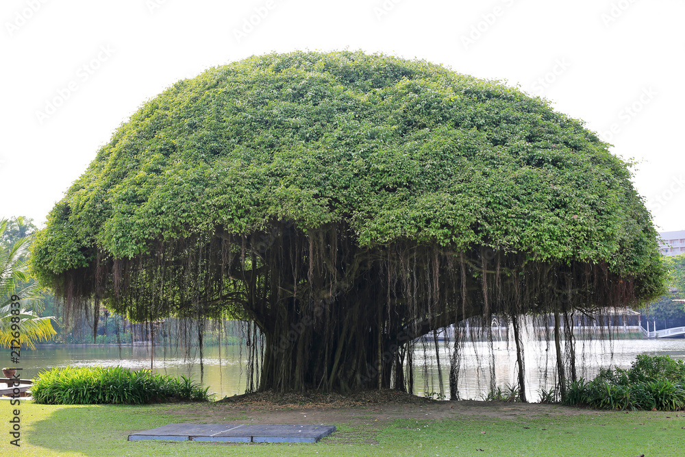 Big Banyan tree near the lake.