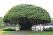 Leinwandbild Motiv Big Banyan tree near the lake.