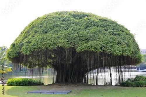 Big Banyan tree near the lake. Canvas Print