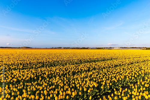Fototapety, obrazy: Holland landscape at the springtime