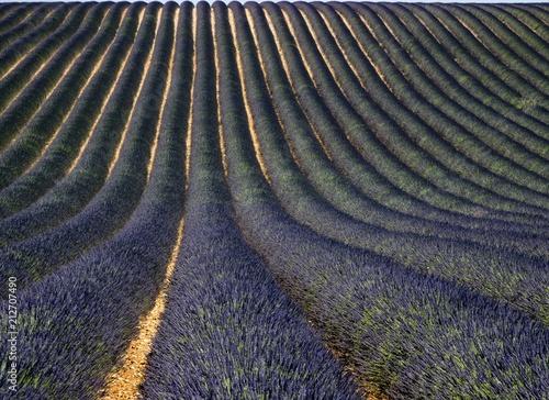 Fotobehang Lavendel Champ de lavande sur le plateau de Valensole, Alpes-de-Haute-Provence, France