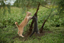 Orange And Gray Kittens Climbing In A Tree On Farm