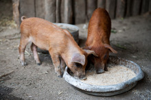 Two Red Pigs Of Duroc Breed Ea...