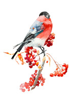 Bullfinch On A Branch Of Ashberry Watercolor Painting
