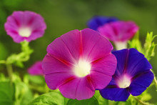 Flowers Of Morning Glory