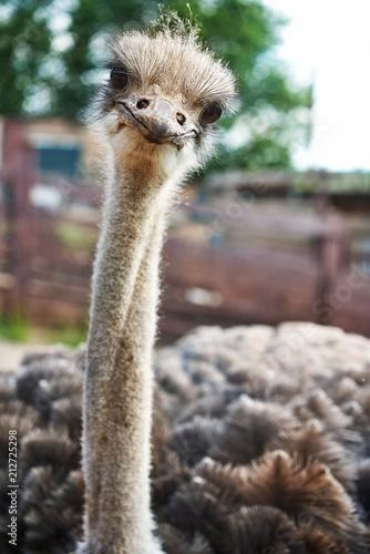 ostrich smiles on an ostrich farm