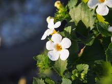 White Flowering Sutera Cordata...