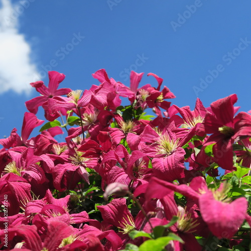 Papiers peints Azalea dark purple clematis a flowering plant with many flowers that blooms throughout the summer