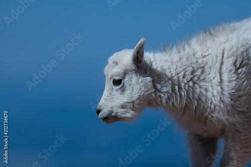 Photo  An Adorable Baby Mountain Goat Lamb