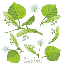 Linden Herbal Illustration. Hand Drawn Botanical Sketch Style. Vector Illustration. Good For Using In Packaging - Tea, Oil, Cosmetics Etc.