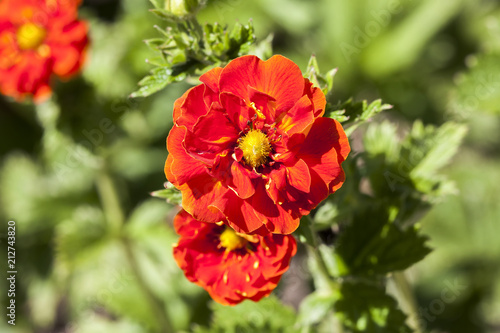 Fotografering Potentilla 'William Rollison' a springtime summer red flower small shrub commonl