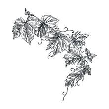 Vector Hand Drawn Grapevine Il...