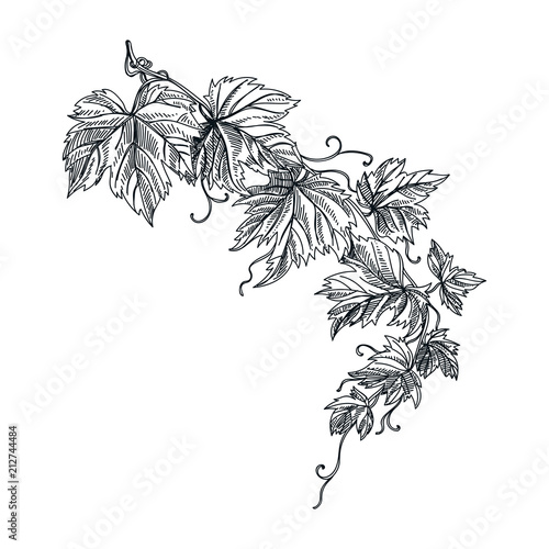 Fotomural vector hand drawn grapevine Illustration