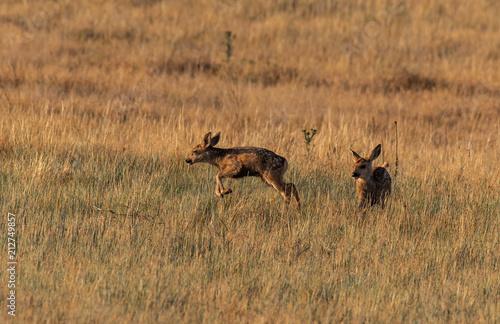 Fotografie, Obraz  Mule Deer Fawns Playing in a Field