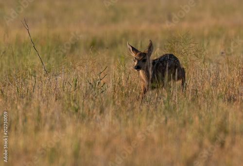Fotografie, Obraz  Mule Deer Fawn in a Meadow on a Summer Morning